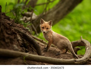 Lovely Red Fox cub, Vulpes vulpes next to den among roots in european spring forest staring directly at the camera. Wildlife photography in Czech republic.