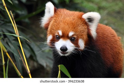 lovely red panda, endangered animal, China
