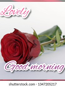 Good Morning Rose Images Stock Photos Vectors Shutterstock