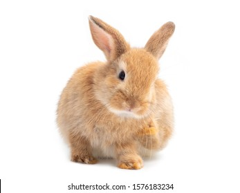 Lovely red-brown rabbit sitting and scratch isolated on white background.