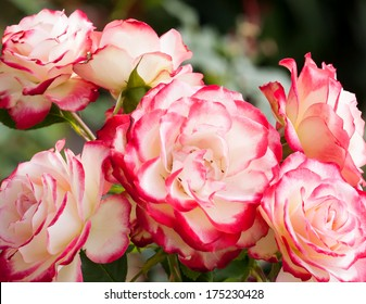 Lovely and romantic blooms of the Hybrid Tea rose cultivar 'Double Delight' in the garden