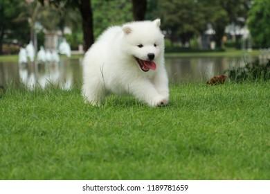 Lovely Samoyed Puppy