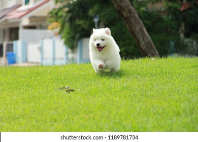 Lovely Samoyed Puppy