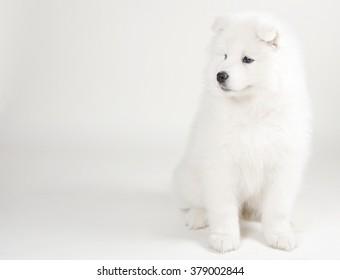Lovely Samoyed puppy (on a light gray background)