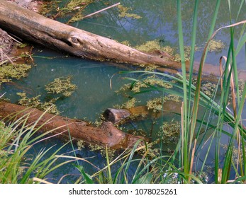 A lovely saturated blue and green swampy area of a pond with fallen trees and algae.