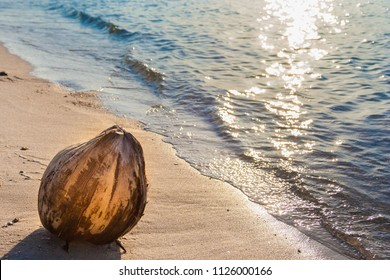 A lovely scene of a coconut fruit (Cocos nucifera) washed ashore on a sandy beach with a glinting sea at sunset in Langkawi, Malaysia. The reflected sunbeam on the water surface makes it atmospheric.