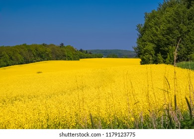Lovely scenery of a huge yellow blooming canola field in the countryside of North Hesse, Germany. The beautiful golden flowers are embedded between green trees like water flowing through a riverbed.