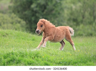 A lovely Shetland Pony running in the green grass field