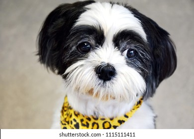 Lovely Shih Tzu dog expressions in drama emotional eyes because want to eat dessert, black and white small Shih Tzu dog with tiger pattern scarf stand on blurred texture cement isolated background
