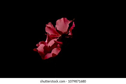 Lovely shot of crimson colored rose against an ebony backdrop.