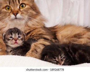 Lovely siberian cat with newborn kitten close-up