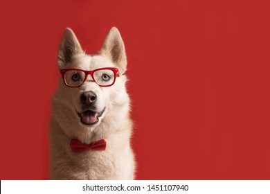 Lovely siberian husky dog wearing glasses and red bow tie isolated against red background. Cool funny dog. Copy space