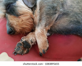Lovely sleeping teckel