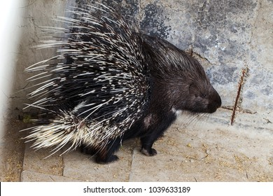 lovely sleepy porcupines. Portrait of a cute porcupine. Malay porcupine or Himalayan porcupine (Hystrix brachyura) - a kind of dangerous night mammals rodents shooting poisonous empennage plumage