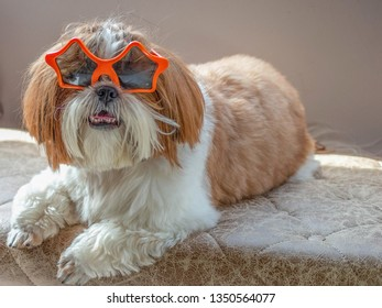 Lovely small dog relaxing in home with orange star shape sunglasses. Funny adorable image, unique shot. Internet meme concept