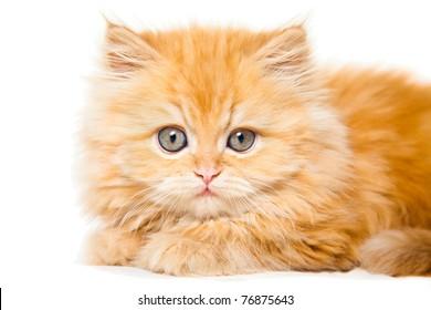 Red Persian Cat Images, Stock Photos & Vectors   Shutterstock