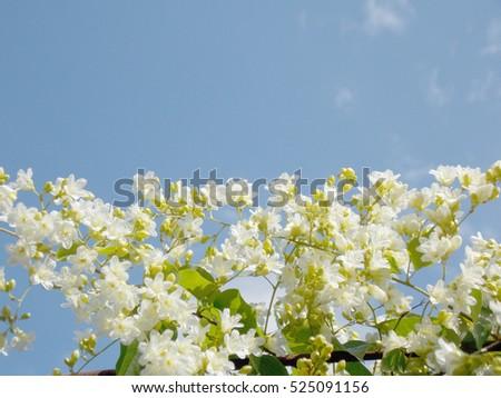 Lovely small white flower called ladawan stock photo edit now lovely small white flower called ladawan on blue sky background mightylinksfo