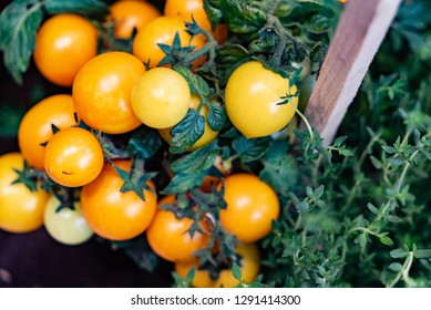 Lovely small yellow cherry tomato plant with ripe and tasty tomatoes on it.