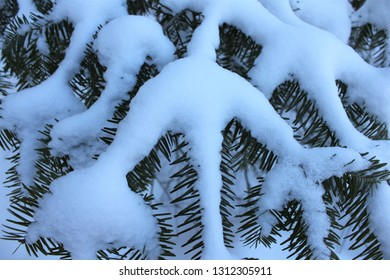 Lovely snow covered boughs of Balsam Fir (Abies balsamea), the iconic American Christmas tree growing wild in the forest.