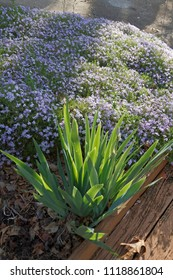 A lovely spring garden of purple creeping phlox and iris colorfully greet the dawn