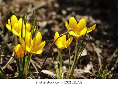 Lovely springflowers the crocus