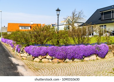 Lovely stone wall with Aubrieta or Aubretia flowers in full bloom on a sunny spring day.