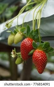 Lovely strawberries at strawberries farm