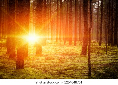 Lovely Sunset Behind The Forrest In Russia. Sunrise In A Forest, Sunbeams Through The Trees