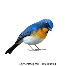 Lovely surrendering manner of blue and orange with white belly isolated on white background, Tickell's or Indochinese blue flycatcher (Cyornis tickelliae)