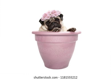 lovely sweet pug dog sitting in plant pot, wearing pale pink flowers diadem, isolated on white background