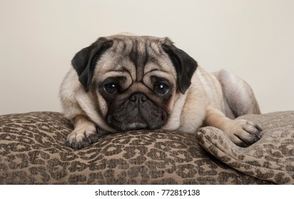 lovely sweet pug puppy dog, lying down on cushions, with leopard print