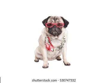 5f3f98a34aea lovely sweet sitting pug puppy dog wearing pink glasses and bikini top