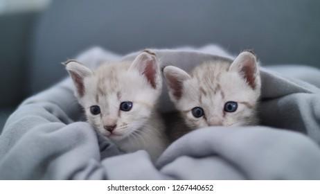 Lovely tabby kitten playing under the sheet