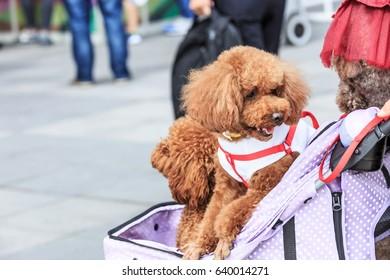 lovely teddy dog sitting in a pet trolley