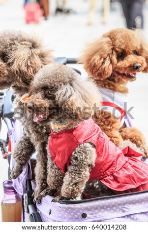 Lovely Teddy Dog Sitting Pet Trolley Stock Photo (Edit Now