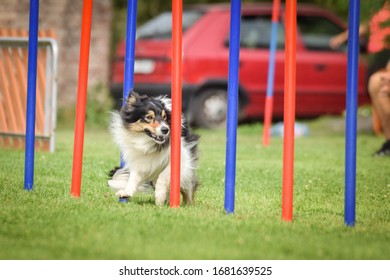 Lovely tricolor Border collie is running slalom on czech agility competition slalom. Dogs love it!
