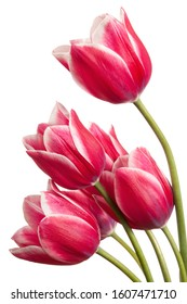 Lovely tulip flowers isolated on a white background