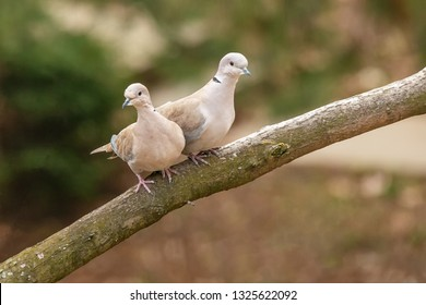 Lovely turtledove. Love birds on the branch.