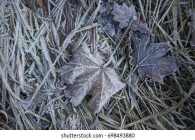 Lovely two frozen Maple leaves