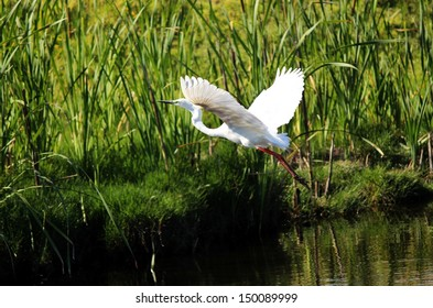 Lovely white Australian egret flying off from the cool lake  after catching a feed of fish in the early morning.