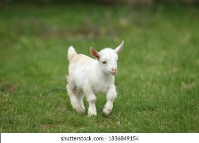 Lovely white baby goat running on grass, New England, USA