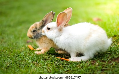 lovely white and brown rabbit eat carrot in green field.