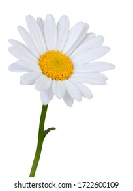 Lovely white Daisy (Marguerite) in side view, isolated on white background including clipping path.