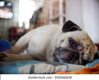 lovely white fat cute lazy pug dog face close up lying on a big soft blue pillow indoor making sad face selective focus under soft light and country home surrounding bokeh background