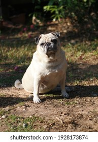 lovely white fat cute pug face portraits close up sitting on the garden path floor outdoor making sad face taking sunbath with country home surrounding blur background