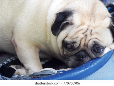 lovely white fat cute pug dog face close up laying resting on round blue dog bed outdoor making funny face under natural sunlight selective focus blur background