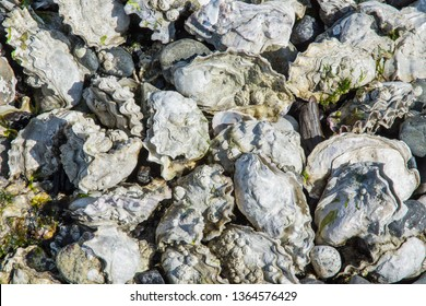 A lovely white oyster bed. Mollusks ready to be eaten raw on the beach on a fine summer day. A salt water bivalve feast. The ocean's bounty ready to be harvested and enjoyed.