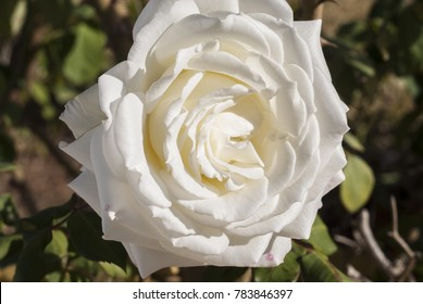 white rose background stock photo edit now 613214024 shutterstock