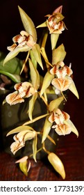 Lovely yellow Coelogyne assamica, an orchid species, in bloom.