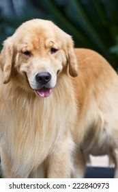Lovely yellow golden retriever